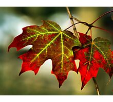 Feeling of Autumn - Maple leaves  Photographic Print