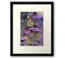 Monarch on Mauve Framed Print