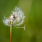 Dandelion by Nicholas Jermy