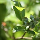 Blueberry study- Unripe 1 by Linda Costello Hinchey