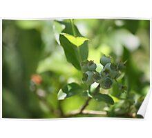 Blueberry study- Unripe 1 Poster