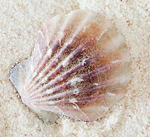 Scallop on Sand by Markku Vitikainen