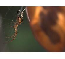 Spider on Honesty Photographic Print