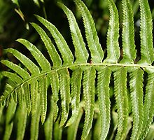 pretty green fern leaves. by naturematters