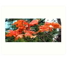 Fall Maple Leaves in Halifax Art Print