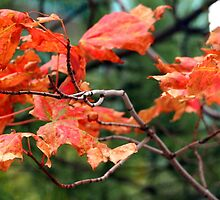 Fall Maple Leaves in Halifax by Laurel Talabere