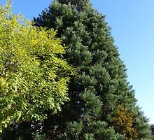 Photo of trees, blue sky. by naturematters