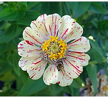 Zinnia Guest  Photographic Print