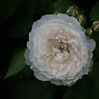 Creamy, Dreamy Rose by Gerda Grice