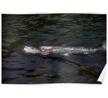 Atlantic salmon portrait . by Brown Sugar . No.3. Views: 207 . Thx! Poster