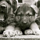 They're Yawning!! (German Shepherd Puppies) by Lou Wilson