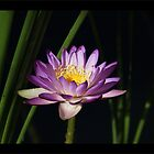 River Lily by jono johnson