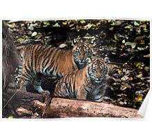Sumatran cubs Poster
