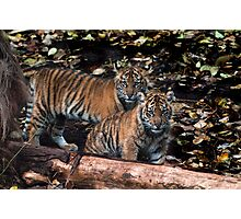 Sumatran cubs Photographic Print