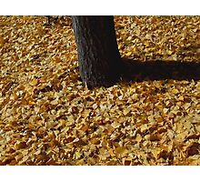 Gingko Leaves Photographic Print