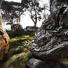 Gnarled Ribbon Gum - Thredbo NSW by Will Barton