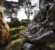 Gnarled Ribbon Gum - Thredbo NSW by Will Barton