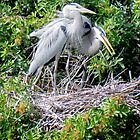 Blue Heron Nesting Pair by Rosalie Scanlon