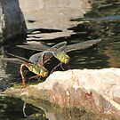 Dragonfly~ Common Green Darner (Copulating) by Kimberly Chadwick