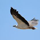 white bellied sea eagle by birdpics