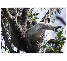 Sleeping Koala (Phascolarctos cinereus) - Cleland Conservation Park, South Australia Poster