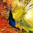 PEACOCK. by Terry Collett