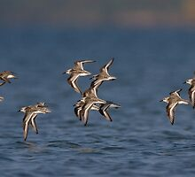 Peeps In Flight - Presqu'ile Provincial Park, Ontario by Stephen Stephen