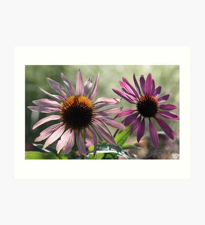 Echinacea (Coneflower) - Morning Sunlight Art Print