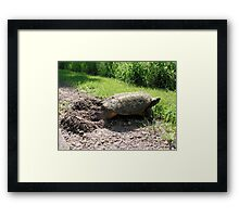 Snapping Turtle burying her eggs Framed Print