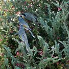 Noisy Miners at Shelbourne by SherbrookePhoto