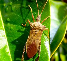 Leaf Footed Bug By Jonathan Green by Jonathan  Green