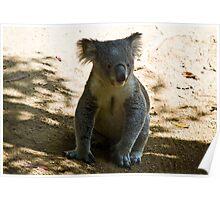 Koala on the Floor Poster