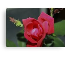A Rose For Diane Canvas Print