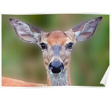 White-tailed Deer Close-up Poster