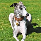 I'm Fast! - Whippet by Kim North