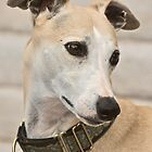 Beautiful Boy - Whippet by Kim North