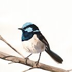 Fairy Wren by Louise De Masi