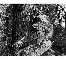 Aged Smokey Mountain Cedar Photographic Print
