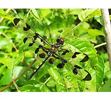 Twelve Spotted Skimmer Photographic Print