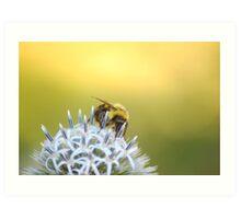 Bee gathering nectar from white flower Art Print