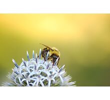 Bee gathering nectar from white flower Photographic Print