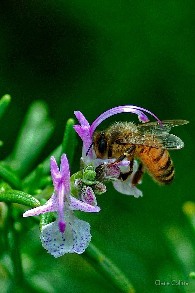 bees love rosemary flowers by Clare Colins