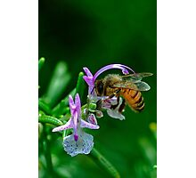 bees love rosemary flowers Photographic Print