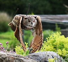 Owl In Flight by Alan Harman