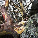 Ribbon Gums - Thredbo, NSW by Will Barton