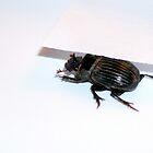 Beetle Hide by Cameron Hampton
