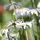 A daisy a day ... by Chris Armytage™