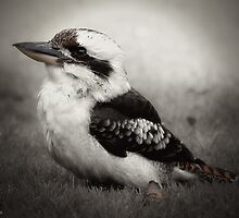 kookaburra beauty 01 by kevin chippindall
