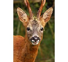 Roe Buck Photographic Print