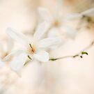 white magnolia by Natasha Calhoun